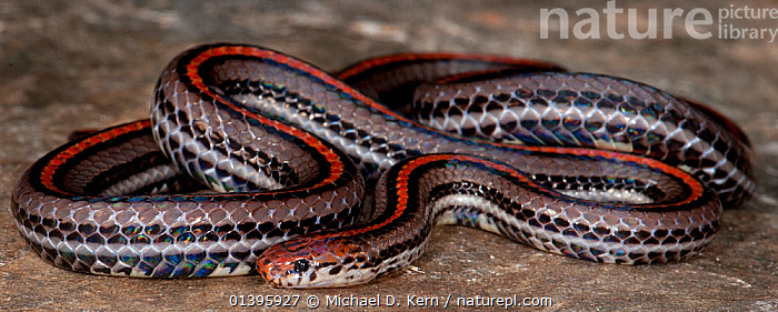 Banded Malaysian Coral Snake (Calliophis intestinalis) captive from South East Asia  ,  PANORAMIC,PORTRAITS,REPTILES,SNAKES,SOUTH EAST ASIA,VERTEBRATES,Anthozoans,Marine,Invertebrates,Cnidaria  ,  Michael D. Kern