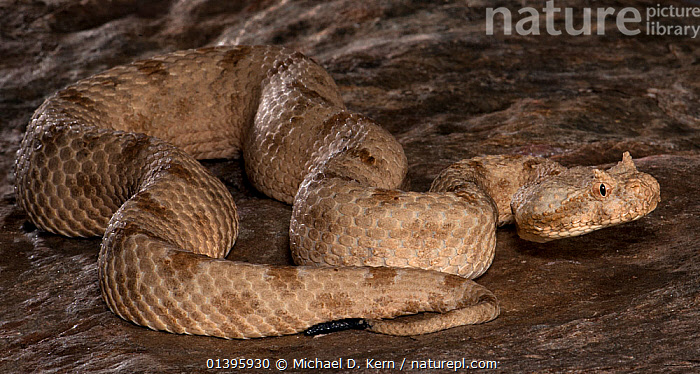 Field's Horned Viper, (Pseudocerastes persicus fieldi) captive, from Middle East  ,  MIDDLE-EAST, portaits, REPTILES, SNAKES, VERTEBRATES, Viperidae,Vipers  ,  Michael D. Kern