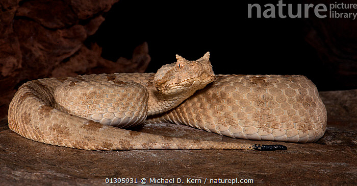 Field's Horned Viper, (Pseudocerastes persicus fieldi) captive, from Middle East  ,  MIDDLE-EAST, PORTRAITS, REPTILES, SNAKES, VERTEBRATES, Viperidae,Vipers  ,  Michael D. Kern