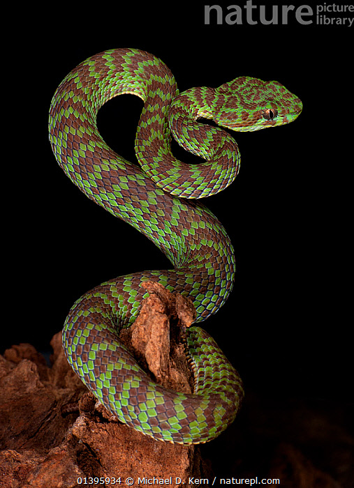 Nature Picture Library - Beautiful / Vogals pitviper
