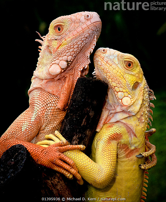 Albino Common Iguana (Iguana iguana) captive pair from Tom Crutchfield's collection, from Caribbean and South and Central America  ,  AFFECTIONATE,BLACK BACKGROUND,CARIBBEAN,CENTRAL AMERICA,CUTOUT,IGUANAS,IGUANIDAE,LIZARDS,REPTILES,SOUTH AMERICA,VERTEBRATES,VERTICAL,West Indies,Catalogue5,,Lizards,,,Lizards,  ,  Michael D. Kern