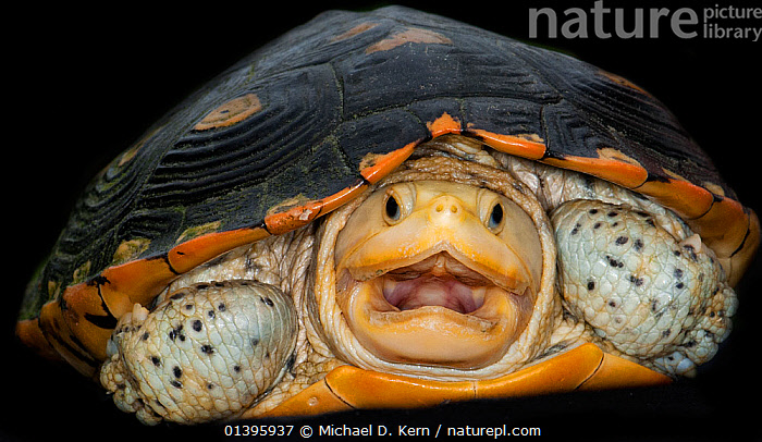 Diamondback terrapin, (Malaclemys terrapin) captive from USA  ,  ANGRY,BLACK BACKGROUND,BLACK BACKGROUND,CHELONIA,CUTOUT,MOUTHS,NORTH AMERICA,POND TURTLES,PORTRAITS,REPTILES,USA,VERTEBRATES  ,  Michael D. Kern