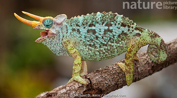 Dwarf Jackson's chameleon (Trioceros jacksonii merumontanus) with mouth open, captive from Africa  ,  AFRICA,CHAMAELEONIDAE,CHAMELEONS,LIZARDS,PORTRAIT,PROFILE,REPTILES,VERTEBRATES,,Lizards,,,Lizards,  ,  Michael D. Kern