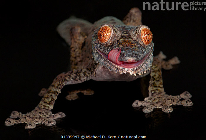 Leaf tailed gekco (Uroplatus fimbriatus) captive from Madagascar  ,  AFRICA, black background, CUTOUT, GECKOS, LIZARDS, MADAGASCAR, MOUTHS, PORTRAITS, REPTILES, TONGUES, VERTEBRATES,,Lizard,  ,  Michael D. Kern