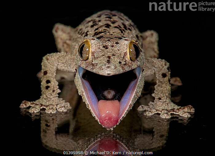 Mossy leaf-tailed gecko, (Uroplatus sikorae) captive from Madgascar  ,  AFRICA,black background,catalogue5,CLOSE UPS,CUTOUT,DRINKING,front view,GECKOS,HEADS,HUMOROUS,LIZARDS,MADAGASCAR,MOUTHS,NIGHT,Nobody,one animal,open mouth,outdoors,portaits,REFLECTIONS,REPTILES,thirst,TONGUES,VERTEBRATES,WATER,WILDLIFE,Concepts,,Lizard,  ,  Michael D. Kern