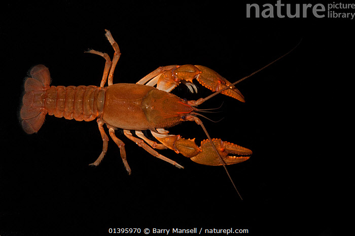 Ambiguous crayfish (Cambarus striatus) Florida, USA, February  Controlled conditions  ,  BLACK BACKGROUND,CAMBARIDAE,CRAYFISH,CRUSTACEANS,CUTOUT,DECAPODS,FRESHWATER,INVERTEBRATES,USA,North America  ,  Barry Mansell