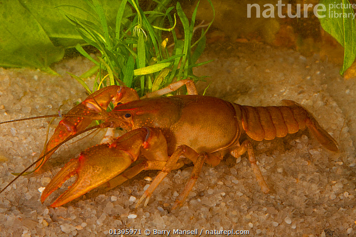 Ambiguous crayfish (Cambarus striatus) burrowing form (it can burrow into almost any substrate) West Florida, USA  Controlled conditions  ,  CAMBARIDAE,CRAYFISH,CRUSTACEANS,DECAPODS,FRESHWATER,HABITAT,INVERTEBRATES,TEMPERATE,UNDERWATER,USA,North America  ,  Barry Mansell
