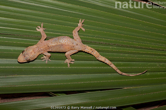 Afro-american house gecko (Hemidactylus mabouia) introduced into America from Africa, South Florida, USA Controlled conditions  ,  GECKOS,GEKKONIDAE,HIGH ANGLE SHOT,INTRODUCED,LIZARDS,REPTILES,USA,VERTEBRATES,North America,,Lizard,  ,  Barry Mansell