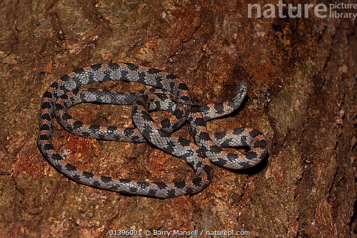 Short-tailed snake (Stilosoma extenuatum) Hernando Co. Florida, USA, Threatened species. Controlled conditions  ,  COLUBRIDS, ENDANGERED, REPTILES, SNAKES, USA, VERTEBRATES,North America  ,  Barry Mansell