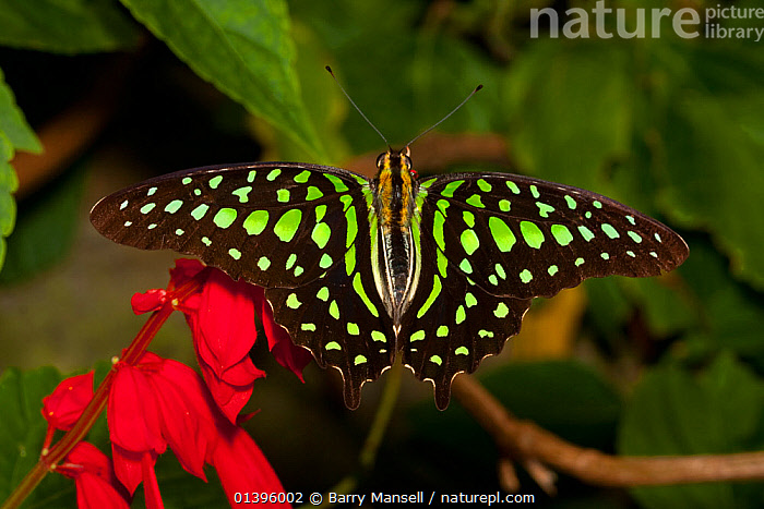 Tailed jay butterfly (Graphium agamemnnon) from  Southeast Asia. Captive  ,  ASIA,COLOURFUL,GREEN,INSECTS,INVERTEBRATES,LEPIDOPTERA,PAPILIONIDAE,SWALLOWTAIL BUTTERFLIES,TROPICAL,WINGS  ,  Barry Mansell