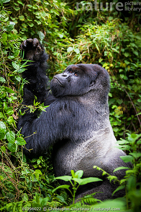 Mountain gorilla (Gorilla beringei) silverback pulling on lianas in order to eat the leaves, Susa Group, Volcanoes National Park, Rwanda, wet season April  ,  AFRICA,EAST AFRICA,ENDANGERED,FEEDING,GREAT APES,HIGHLANDS,HOMINIDAE,MALES,MAMMALS,NATIONAL PARK,NP,PARC NATIONAL DES VOLCANS,PLANTS,PONGIDAE,PRIMATES,RESERVE,RWANDA,TROPICAL RAINFOREST,VERTEBRATES,VERTICAL  ,  Christophe Courteau