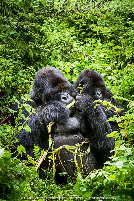 Mountain gorillas (Gorilla beringei) silverback eating wild celery, watched by another, Susa Group, Volcanoes National Park, Rwanda, wet season April  ,  AFRICA,EAST AFRICA,ENDANGERED,FEEDING,GREAT APES,HABITAT,HIGHLANDS,HOMINIDAE,MALES,MAMMALS,NATIONAL PARK,NP,PARC NATIONAL DES VOLCANS,PLANTS,PONGIDAE,PRIMATES,RESERVE,RWANDA,TROPICAL RAINFOREST,TROPICS,TWO,VEGETATION,VERTEBRATES,VERTICAL  ,  Christophe Courteau