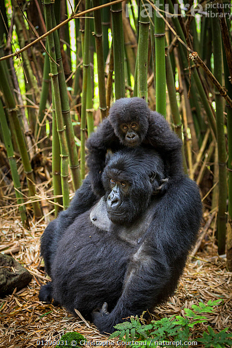 Mountain gorilla (Gorilla beringei) female with her young playing on her back in dense bamboo forest, Volcanoes National Park, Rwanda, Elevation 2610m  ,  AFRICA,BABIES,CLIMBING,EAST AFRICA,ENDANGERED,FEMALES,GREAT APES,HIGHLANDS,HOMINIDAE,JUVENILE,MAMMALS,MOTHER AND YOUNG,NATIONAL PARK,NP,PARC NATIONAL DES VOLCANS,PLAY,PONGIDAE,PRIMATES,RESERVE,RWANDA,TROPICAL RAINFOREST,VERTEBRATES,VERTICAL,YOUNG,Communication  ,  Christophe Courteau