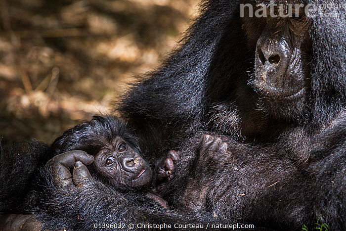 Mountain gorilla (Gorilla beringei) female with her 4 weeks old infant in her arm, Hirwa group, Volcanoes National Park, Rwanda, elevation 2610m  ,  AFFECTION,AFRICA,BABIES,BONDING,CRADLING,CUDDLING,EAST AFRICA,ENDANGERED,FEMALES,GREAT APES,HIGHLANDS,HIRWA,HOLDING,HOMINIDAE,INFANT,JUVENILE,MAMMALS,MOTHER AND YOUNG,MOTHER BABY,NATIONAL PARK,NP,PARC NATIONAL DES VOLCANS,PONGIDAE,PRIMATES,RESERVE,RWANDA,TROPICAL RAINFOREST,VERTEBRATES,YOUNG  ,  Christophe Courteau