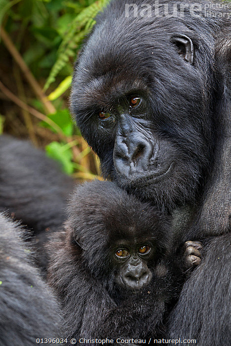 Mountain gorilla (Gorilla beringei) mother with young from Hirwa group. This is Gakuru, one of 2 twin infants  from female Kabatwa, on slopes of the Sabyinyo Volcano, Volcanoes National Park, Rwanda elevation 2610 m  ,  AFRICA,BABIES,BONDING,CUTE,EAST AFRICA,ENDANGERED,FAMILIES,FEMALES,GREAT APES,HOLDING,HOMINIDAE,INFANT,JUVENILE,MAMMALS,MOTHER AND YOUNG,NATIONAL PARK,NP,PARC NATIONAL DES VOLCANS,PONGIDAE,PORTRAITS,PRIMATES,RESERVE,TROPICAL RAINFOREST,VERTEBRATES,VERTICAL,YOUNG  ,  Christophe Courteau