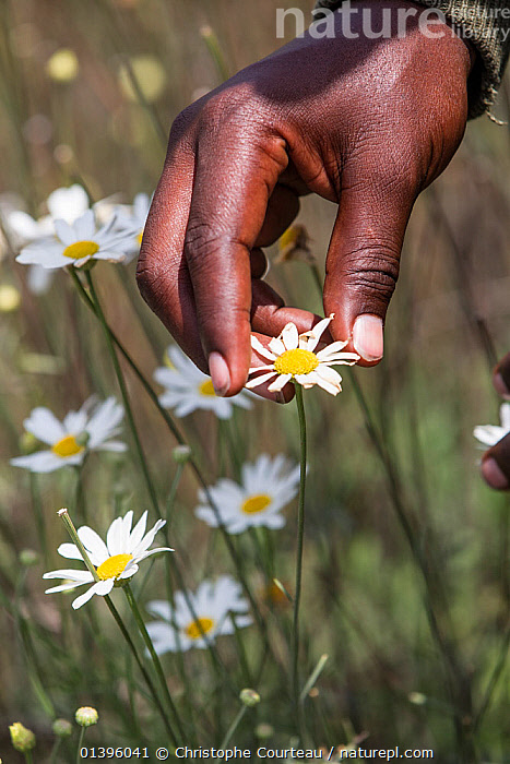Close up of man's hand harvesting Pyrethrum, which refers to several Old World plants of the Chrysanthemum genus which are cultivated as ornamentals for their showy flower heads. Pyrethrum is also the name of a natural insecticide made from the dried flower heads of C. cinerariifolium  Rwanda. No release available.  ,  AFRICA,ASTERACEAE,COMPOSITAE,CROPS,DICOTYLEDONS,FLOWERS,HANDS,HARVESTING,INSECTICIDE,PEOPLE,PICKING,PLANTS,RWANDA,VERTICAL,Catalogue5  ,  Christophe Courteau