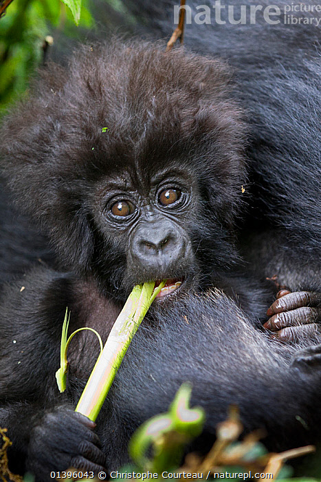 Mountain gorilla (Gorilla beringei) baby eating, part of Hirwa group, Volcanoes National Park. Rwanda, elevation 2630m  ,  AFRICA,BABIES,EAST AFRICA,ENDANGERED,FACES,FEEDING,GREAT APES,HEADS,HOMINIDAE,INFANT,JUVENILE,MAMMALS,NATIONAL PARK,NP,PARC NATIONAL DES VOLCANS,PONGIDAE,PORTRAITS,PRIMATES,RESERVE,RWANDA,TROPICAL RAINFOREST,VERTEBRATES,VERTICAL,YOUNG  ,  Christophe Courteau