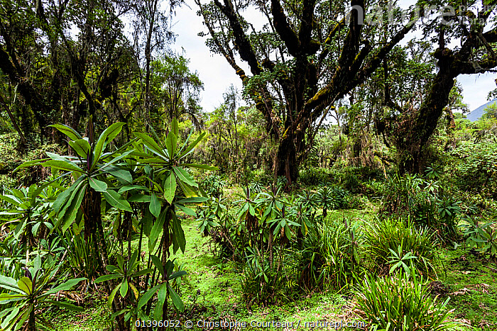 Vegetation in the forest of the Volcanoes National Park, habitat of the Mountain Gorillas (Gorilla gorilla beringei) Rwanda, elevation 2950m  ,  AFRICA,CENTRAL AFRICA,EAST AFRICA,ENDANGERED,HABITAT,HIGHLANDS,INTERIOR,LANDSCAPES,LUSH,NATIONAL PARK,NP,PARC NATIONAL DES VOLCANS,PLANTS,RESERVE,RWANDA,TREES,TROPICAL RAINFOREST  ,  Christophe Courteau