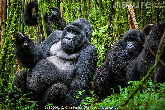 Mountain gorillas (Gorilla beringei) silverback with others, Agashya Group (Former 13 Group)   Volcanoes National Park, Rwanda  ,  AFRICA,EAST AFRICA,ENDANGERED,FAMILIES,GREAT APES,GROUPS,HIGHLANDS,HOMINIDAE,INFANT,JUVENILE,MALES,MAMMALS,NATIONAL PARK,NP,PARC NATIONAL DES VOLCANS,PONGIDAE,PRIMATES,RESERVE,RESTING,RWANDA,TROPICAL RAINFOREST,VERTEBRATES,YOUNG  ,  Christophe Courteau