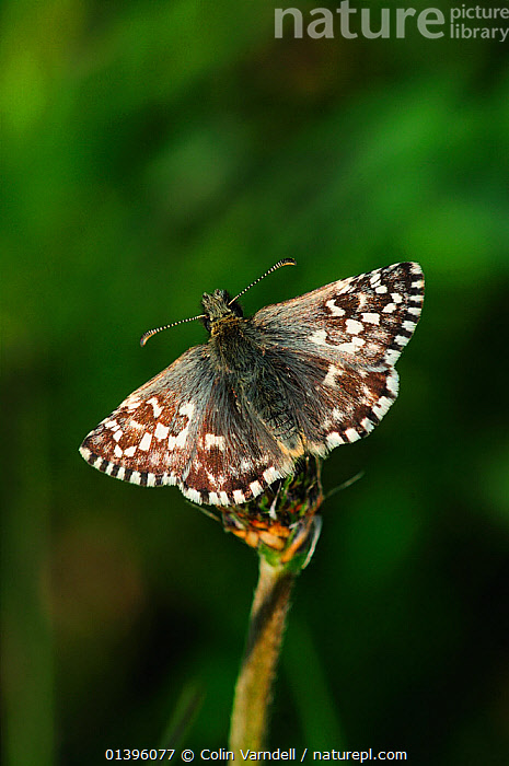 Grizzled skipper butterfly (Pyrgus malvae) at rest, Dorset, UK, May  ,  ENGLAND,EUROPE,HESPERIIDAE,INSECTS,INVERTEBRATES,LEPIDOPTERA,SKIPPER BUTTERFLIES,SKIPPERS,UK,VERTICAL,United Kingdom,Butterflies  ,  Colin Varndell