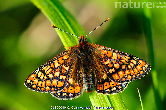 Marsh fritillary butterfly (Euphydras aurinia) at rest, Powerstock Common, Dorset, UK, May  ,  ARTHROPODS,BUTTERFLIES,ENGLAND,EUROPE,GRASSLANDS,INSECTS,INVERTEBRATES,LEPIDOPTERA,NYMPHALIDAE,RESERVE,UK,United Kingdom  ,  Colin Varndell