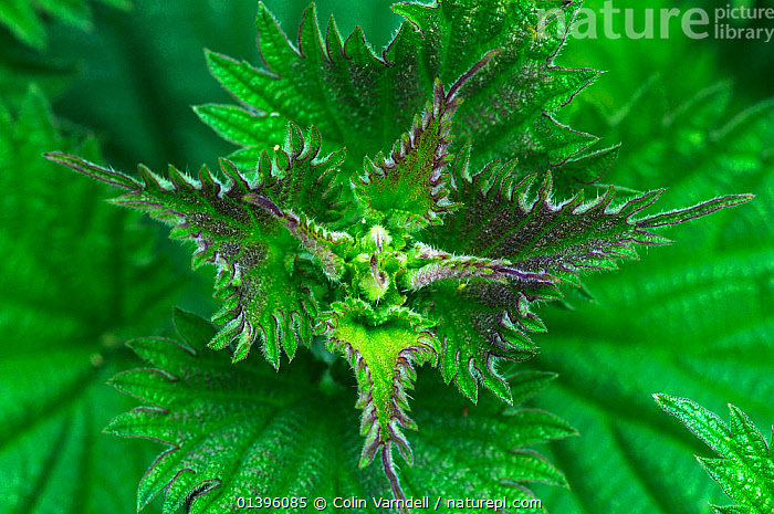 Stinging nettle (Urtica dioica) foliage in spring,  Dorset, UK, May  ,  DICOTYLEDONS,ENGLAND,EUROPE,GREEN,HIGH ANGLE SHOT,LEAVES,PLANTS,UK,URTICACEAE,United Kingdom  ,  Colin Varndell