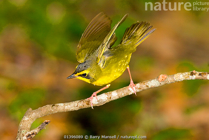 Kentucky Warbler (Oporornis formosus) male displaying, High Island, Texas, USA, April  ,  BEHAVIOUR, BIRDS, DISPLAY, GEOTHLYPIS FORMOSA, MALES, Parulidae, songbirds, USA, VERTEBRATES, WARBLERS, YELLOW,Communication,North America  ,  Barry Mansell
