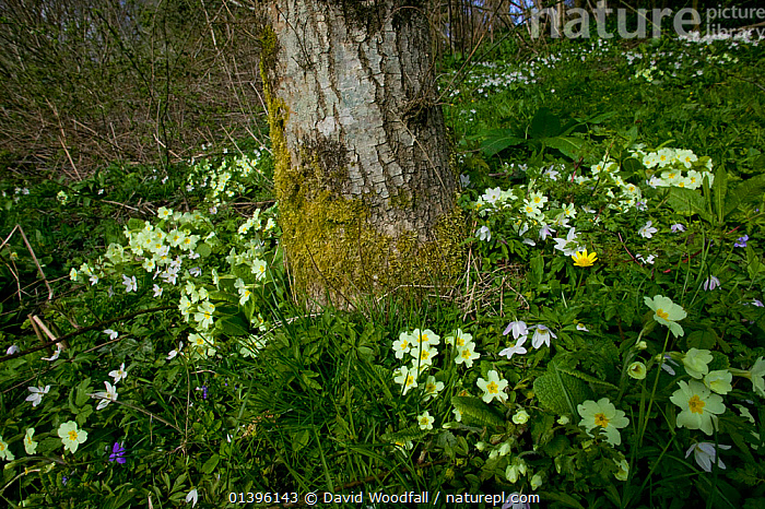 Primroses (Primula vulgaris) Celandines and Wood Anemone, woodland scene in April, Wales, UK  ,  DICOTYLEDONS,EUROPE,FLOWERING,FLOWERS,MIXED SPECIES,PLANTS,PRIMULACEAE,SOUTH WALES,SPRING,UK,WALES,WILD,WOODLANDS,United Kingdom  ,  David Woodfall