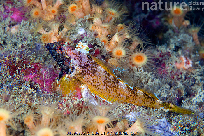 Black faced blenny (Tripterygion delaisi) male camouflaged against anemones, Channel Islands, UK May  ,  ATLANTIC,BLENNIES,CAMOUFLAGE,CHANNEL ISLANDS,ENGLISH CHANNEL,EUROPE,FISH,MALES,MARINE,OSTEICHTHYES,PROFILE,SEA,TEMPERATE,UK,UNDERWATER,VERTEBRATES,United Kingdom  ,  Sue Daly
