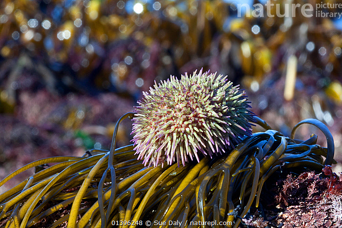 Green sea urchin (Psammechinus miliaris) Channel Islands, UK March  ,  ATLANTIC,CHANNEL ISLANDS,ECHINODERMS,ECHINOIDEA,ENGLISH CHANNEL,EUROPE,INVERTEBRATES,MARINE,SEA URCHINS,TEMPERATE,UK,UNDERWATER,United Kingdom  ,  Sue Daly