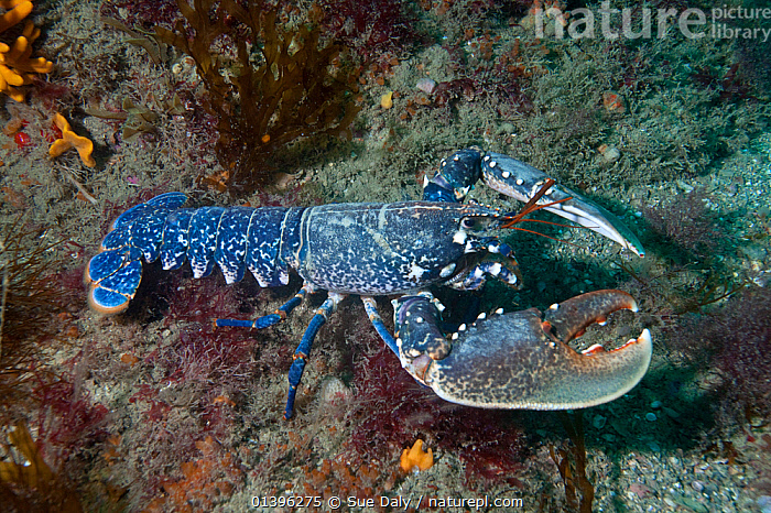 European lobster (Homarus gammarus) Channel Islands, UK July  ,  ARTHROPODS,ATLANTIC,BLUE,CHANNEL ISLANDS,CLAWED LOBSTERS,CRUSTACEANS,ENGLISH CHANNEL,EUROPE,INVERTEBRATES,MARINE,PORTRAITS,TEMPERATE,UK,UNDERWATER,United Kingdom  ,  Sue Daly