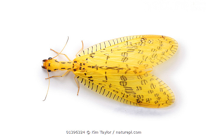 Dobsonfly (Chloronia mexicana) from Costa Rica  ,  CENTRAL AMERICA,CORYDALIDAE,CUTOUT,DOBSONFLIES,INSECTS,INVERTEBRATES,MEGALOPTERA,WHITE BACKGROUND,YELLOW  ,  Kim Taylor