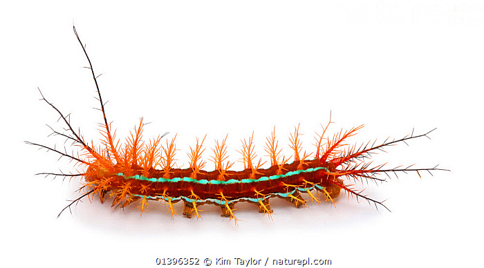 Stinging caterpillar, Costa Rica  ,  ARTHROPODS,BUTTERFLIES,CENTRAL AMERICA,COLOURFUL,CRYPTIC,CUTOUT,INSECTS,INVERTEBRATES,LARVAE,LEPIDOPTERA,ORANGE,SPINES,WHITE BACKGROUND,Catalogue5  ,  Kim Taylor