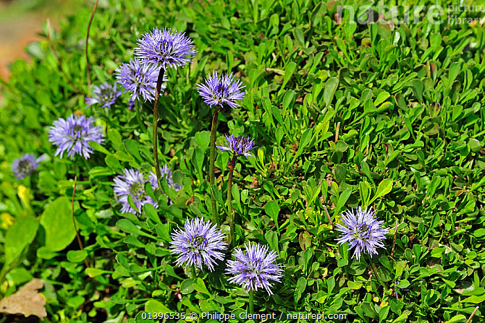 Heart-leaved globe daisies (Globularia cordifolia) in flower, native to the Alps and Pyrenees of southern Europe, National Botanic Garden of Belgium, May  ,  CLOSE UPS,DICOTYLEDONS,EUROPE,FLOWERS,GLOCULARIACAEA,PLANTS,PURPLE  ,  Philippe Clement
