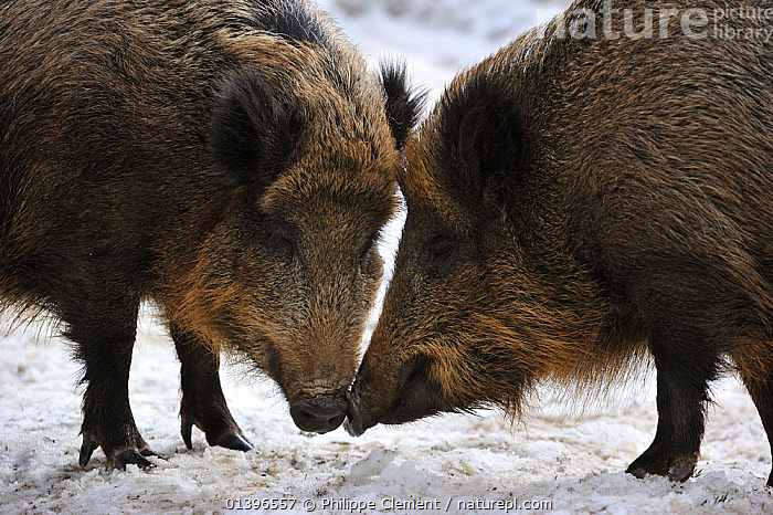 Two wild boars (Sus scrofa) standing nose to nose prior to fighting, captive, Bavarian Forest National Park, Germany, March Not available for ringtone/wallpaper use.  ,  ARTIODACTYLA,EUROPE,GERMANY,MAMMALS,PIGS,RESERVE,SNOW,SUIDAE,TWO,VERTEBRATES,WINTER,RINGTONE  ,  Philippe Clement
