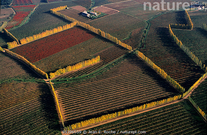 Aerial view of vineyards and fruit trees edged with Italian poplar trees, introduced to the Camargue during the 19th century and planted for protection against the wind, near Arles, Camargue, Southern France. Autumn, aerial view,AERIALS,AGRICULTURE,Arles,Camargue,catalogue5,cultivation,elevated view,EUROPE,farm land,FARMLAND,fields,FRANCE,fruit trees,full frame,intensive,Italian Poplar tree,LANDSCAPES,Nobody,orchards,outdoors,Southern France,TREES,vineyard,vineyards,WETLANDS,PLANTS, Jean E. Roche