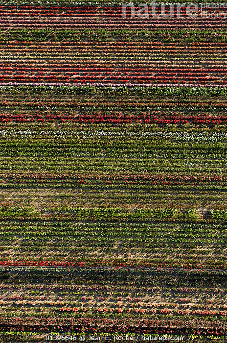 Aerial view of rows of cultivated Roses, horitculture, Bellegarde, Camargue, Southern France, June 2009, ABSTRACT,aerial view,AERIALS,BACKGROUNDS,Bellegarde,Camargue,catalogue5,COLOURFUL,COMMERCIAL,CULTIVATED,cultivation,EUROPE,FLOWERS,FRANCE,full frame,green colour,HORTICULTURE,hues,LANDSCAPES,Nobody,outdoors,PATTERNS,PLANTS,RED,rosa,Rose,roses,rows,shades of colour,Southern France,VERTICAL, Jean E. Roche