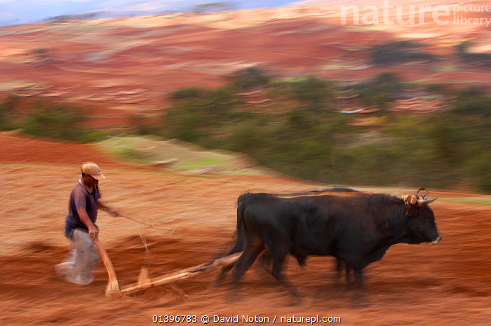 Traditional ox-driven plough near Chincherro, near Cusco, Peru. November 2005.  ,  AGRICULTURE,BLURRED,DOMESTIC,DOMESTICATED,FARMING,FARMLAND,FIELDS,MOTION,MOVEMENT,MOVING,OXEN,PEOPLE,PLOUGHING,SOUTH AMERICA,TRADITIONAL,WORKING,WORKING ANIMALS  ,  David Noton