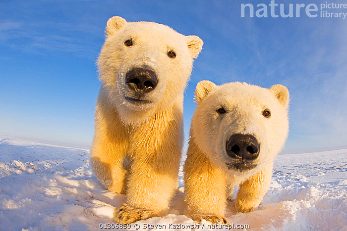 Two curious young Polar bears (Ursus maritimus), Barter Island, off the 1002 area of the Arctic National Wildlife Refuge, North Slope of the Brooks Range, Alaska, October 2011  ,  ARCTIC,BEARS,CARNIVORES,CURIOUS,ENDANGERED,JUVENILE,LOOKING AT CAMERA,LOW ANGLE,MAMMALS,MARINE,NORTH AMERICA,PORTRAITS,RESERVE,SNOW,TWO,URSIDAE,USA,VERTEBRATES,VULNERABLE,WHITE,Catalogue5  ,  Steven Kazlowski