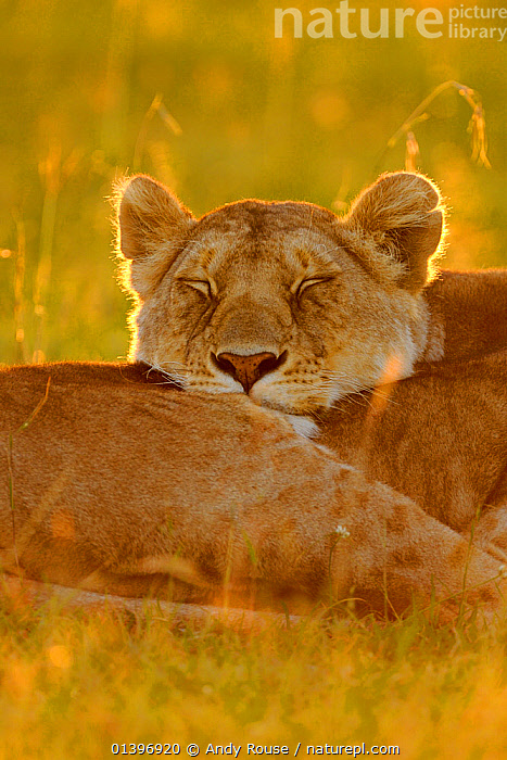 African lioness (Panthera leo) resting with head on another at sunrise, Masai Mara National Reserve, Kenya, AFRICA,backlit,big cats,BIG CATS,CARNIVORES,catalogue5,CLOSE UPS,DAWN,East Africa,eyes closed,felidae,FEMALES,GRASSLAND,HEADS,Kenya,lazy,LIONS,MAMMALS,Masia Mara,Morning,National Reserve,Nobody,outdoors,PORTRAITS,RESERVE,resting,SAVANNA,SLEEPING,SUNRISE,two animals,VERTEBRATES,VERTICAL,WILDLIFE, Andy Rouse