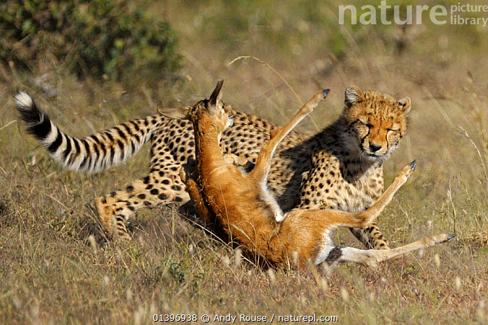 Cheetah (Acinonyx jubatus) catching Thomson's gazelle fawn (Eudorcas thomsoni) Masai Mara National Reserve, Kenya, ACTION,AFRICA,ARTIODACTYLA,BEHAVIOUR,BIG CATS,CARNIVORES,CATCHING,CHEETAHS,EAST AFRICA,FELIDAE,GRASSLAND,HUNTING,JUVENILE,MAASAI,MAMMALS,MIXED SPECIES,NATIONAL RESERVE,PREDATION,RESERVE,RUNNING,SAVANNA,TRIPPING,VERTEBRATES,YOUNG, Andy Rouse