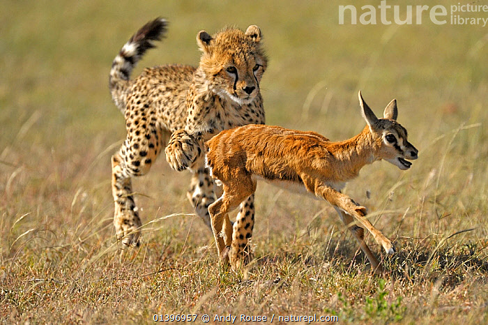 Young Cheetah (Acinonyx jubatus) learning how to hunt Thomson's gazelle fawn (Eudorcas thomsoni) Masai Mara National Reserve, Kenya, ACTION,AFRICA,ARTIODACTYLA,BEHAVIOUR,BIG CATS,CARNIVORES,CATCHING,CHASING,CHEETAHS,EAST AFRICA,EDUCATION,FELIDAE,GRASSLAND,HUNTING,JUVENILE,LEARNING,MAASAI,MAMMALS,MIXED SPECIES,NATIONAL RESERVE,PRACTISING,PREDATION,PREDATOR,PREY,RESERVE,RUNNING,SAVANNA,TRIPPING,VERTEBRATES,YOUNG,Catalogue5, Andy Rouse