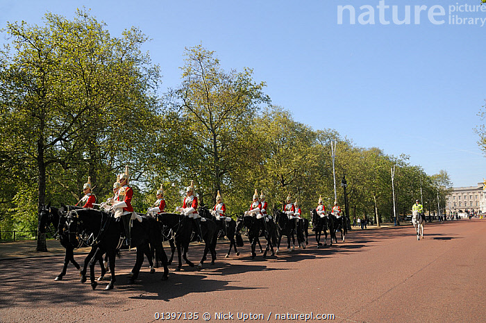 Horse Guards parading on The Mall, past avenue of London Plane Trees (Platanus x hispanica), with Buckingham Palace in the background, London, UK, May. 2012  ,  BUILDINGS,CAPITAL CITIES,CITIES,DICOTYLEDONS,ENGLAND,EUROPE,HORSES,LONDON,MONUMENTS,PEOPLE,PLANTS,PLATANACEAE,SOLDIERS,TOWNS,TRADITIONAL,TREES,UK,URBAN,United Kingdom  ,  Nick Upton