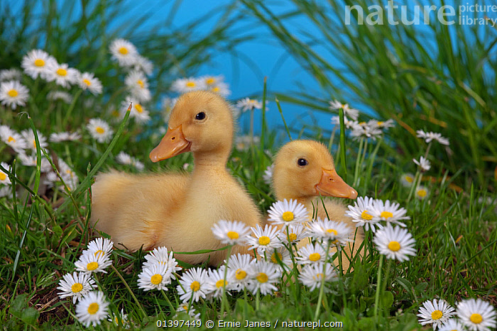 Two Muscovey Ducklings age one week amongst daisies and grass  ,  BABIES,BIRDS,CHICKS,DUCK,DUCKS,FLOWERS,POULTRY,TWO,VERTEBRATES,WATERFOWL  ,  Ernie Janes