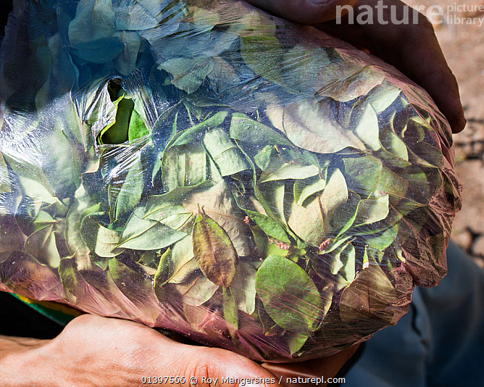 Man holding a half kilogram bag of Coca (Erythroxylum coca) leaves, valued at 20 Bolivianos, or approximately two British Pounds, Bolivia, November  ,  BAG,BOLIVIA,CATALOGUE5,CLOSE UPS,COCAINE,CROPS,DICOTYLEDONS,DRUGS,ERYTHROXYLACEAE,HALF KILOGRAM,HARVESTING,HOLDING,HUMAN HANDS,LEAVES,LOCAL PRODUCE,MID ADULT,ONE PERSON,OUTDOORS,PART OF,PEOPLE,PLANTS,REGGAE,SOUTH AMERICA,SUBCULTURE,VERTICAL  ,  Roy Mangersnes