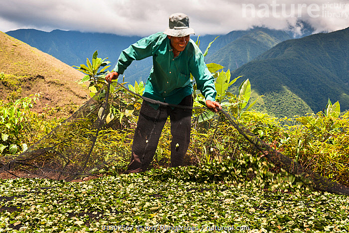 Man gathering crop of Coca (Erythroxylum coca) leaves using a net, the leaves are harvested six times a year, Bolivia, November. No release available.  ,  AGRICULTURE,Bolivia,catalogue5,cocaine,crop,CROPS,DICOTYLEDONS,ERYTHROXYLACEAE,Farmer,farming,front view,gathering,HARVESTING,hat,high altitude,LEAVES,local people,local produce,MAN,mid adult,MOUNTAINS,net,Nobody,one person,outdoors,PEOPLE,PLANTS,SOUTH AMERICA,STANDING,TRADITIONAL,traditional culture,traditional farming,WORKING  ,  Roy Mangersnes