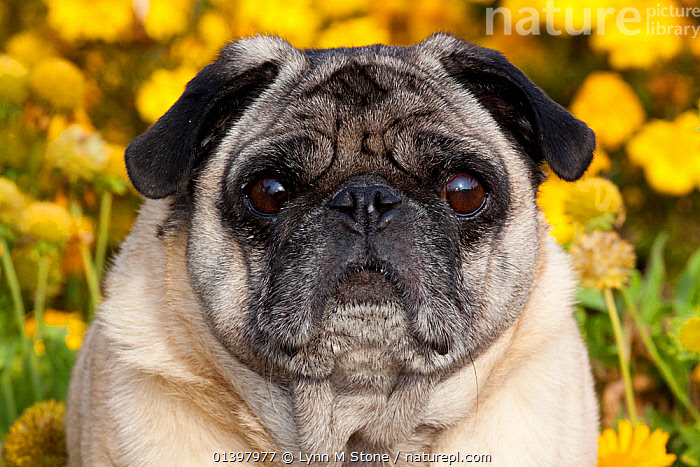 Pug dog portrait  ,  CANIDAE,DOGS,FACES,FLOWERS,FULL FRAME,HEADS,OUTDOORS,PETS,PORTRAITS,SMALL DOGS,TOY DOGS,VERTEBRATES,WRINKLES,YELLOW,Canids  ,  Lynn M Stone