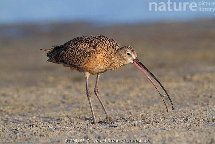 Long-Billed Curlew (Numenius americanus) with Fiddler Crab (Unca sp.) foraged from sand. St. Petersburg, Florida, USA, March.  ,  BEHAVIOUR,BIRDS,CRABS,CURLEWS,FEEDING,FORAGING,NORTH AMERICA,PREDATION,PREY,USA,VERTEBRATES,WADERS,Plovers  ,  Lynn M Stone