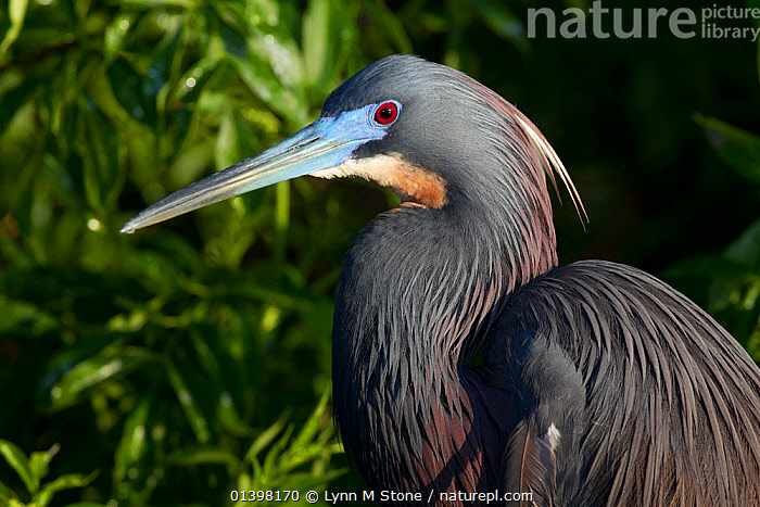 Tricolored Heron (Egretta tricolor) in breeding plumage. Osecola County, Florida, USA, March., BIRDS,BREEDING PLUMAGE,FULL FRAME,HEADS,HERONS,NORTH AMERICA,PORTRAITS,USA,VERTEBRATES, Lynn M Stone
