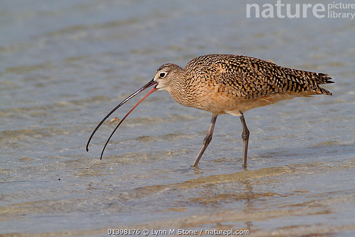 Long-Billed Curlew (Numenius americanus) with Fiddler Crab (Unca sp.) plucked from sand. St. Petersburg, Florida, USA, April.  ,  BEHAVIOUR,BIRDS,CRABS,CURLEWS,FEEDING,FORAGING,NORTH AMERICA,PREDATION,PREY,USA,VERTEBRATES,WADERS,Plovers  ,  Lynn M Stone